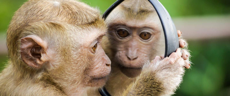 monkey looking at mirror