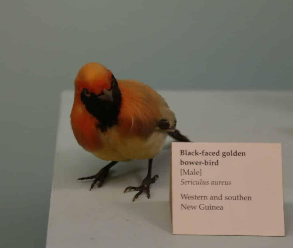 prieelvogels: vliegende casanova's met gevoel voor architectuur